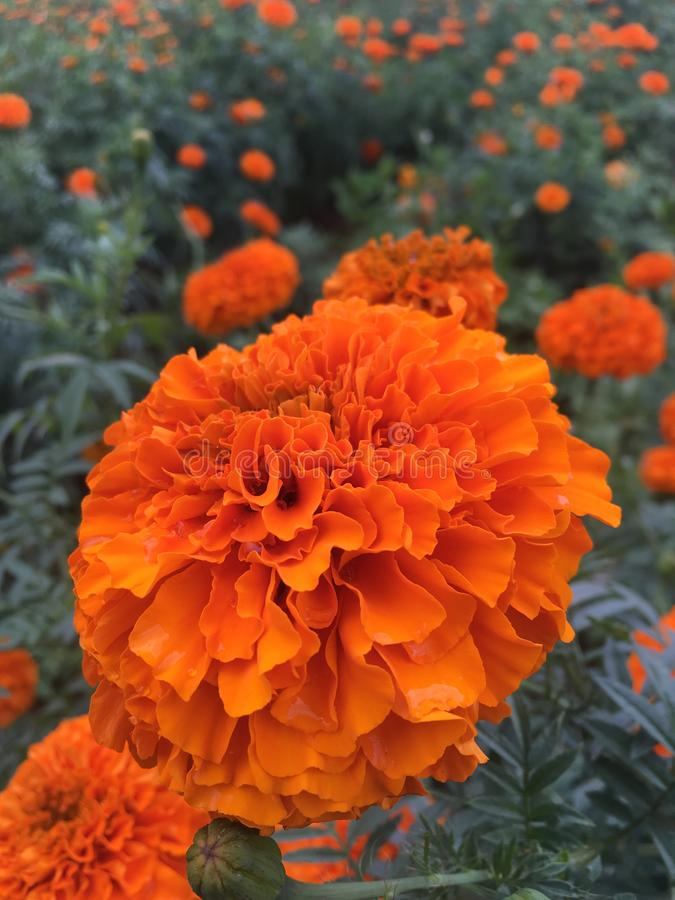 Blume in der Orange stockbild