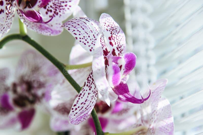 Blume der Orchidee gegen ein Fenster mit Jalousien Makrobild mit flacher Schärfentiefe lizenzfreie stockfotos