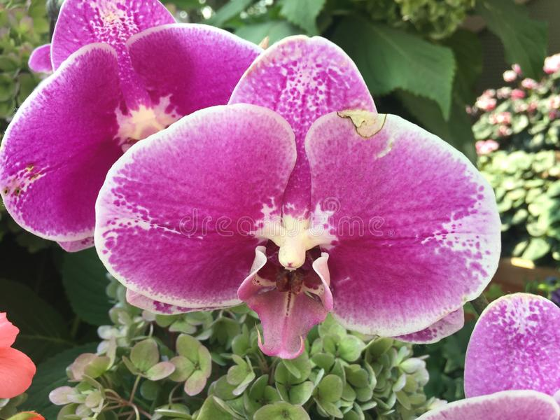 Blume der Orchidee gemacht in Singapur-Garten stockfotografie