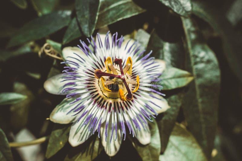 Blume der Passionsblume, auch bekannt als die Leidenschaftsblumen oder -passionsblumen, auf dem Hintergrund von grünen Blättern stockfotos