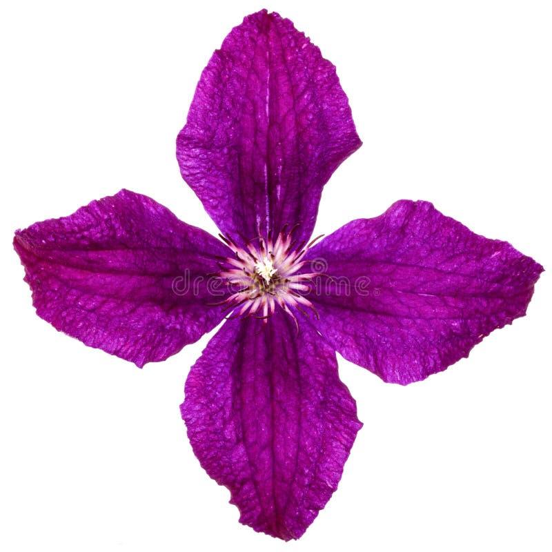 Blume der purpurroten Klematis, lokalisiert auf weißem Hintergrund lizenzfreies stockbild