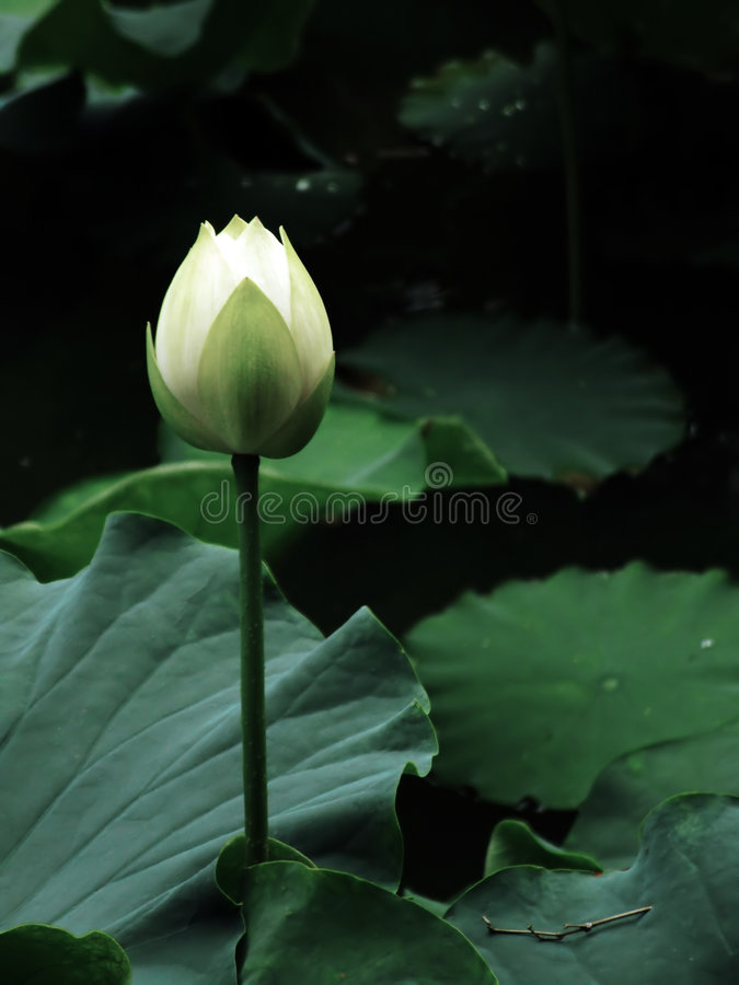 Blume der Reinheit lizenzfreies stockbild