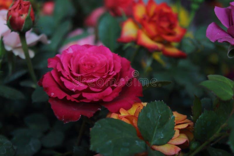 Blume der Rose, mit den großen Herz-förmigen Blumenblättern, Dorne auf dem Stamm, helle und mannigfaltige Farben weiß, Rosa, Rote stockfoto