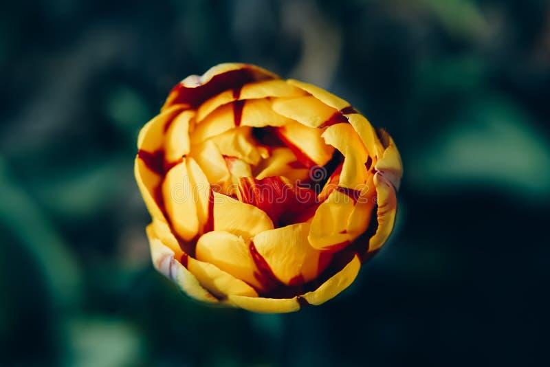 Blume der Tulpe und des Grases stockfotografie