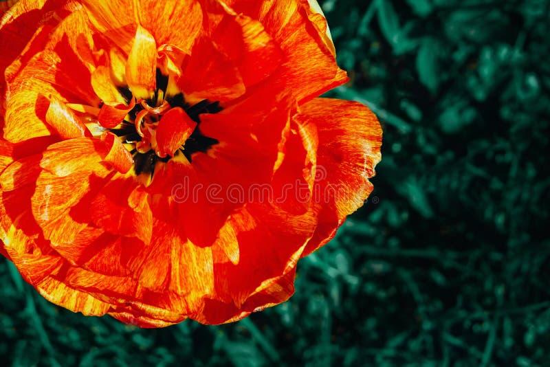 Blume der Tulpe und des Grases lizenzfreie stockfotos