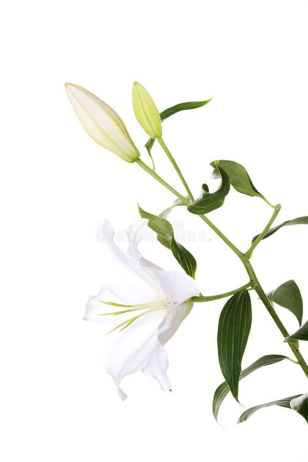 Blume der weißen Lilie lizenzfreie stockbilder