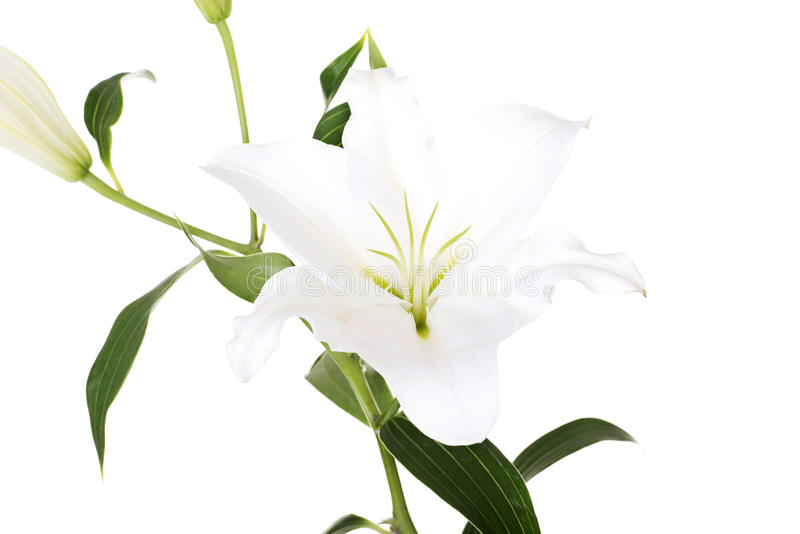 Blume der weißen Lilie stockfotos
