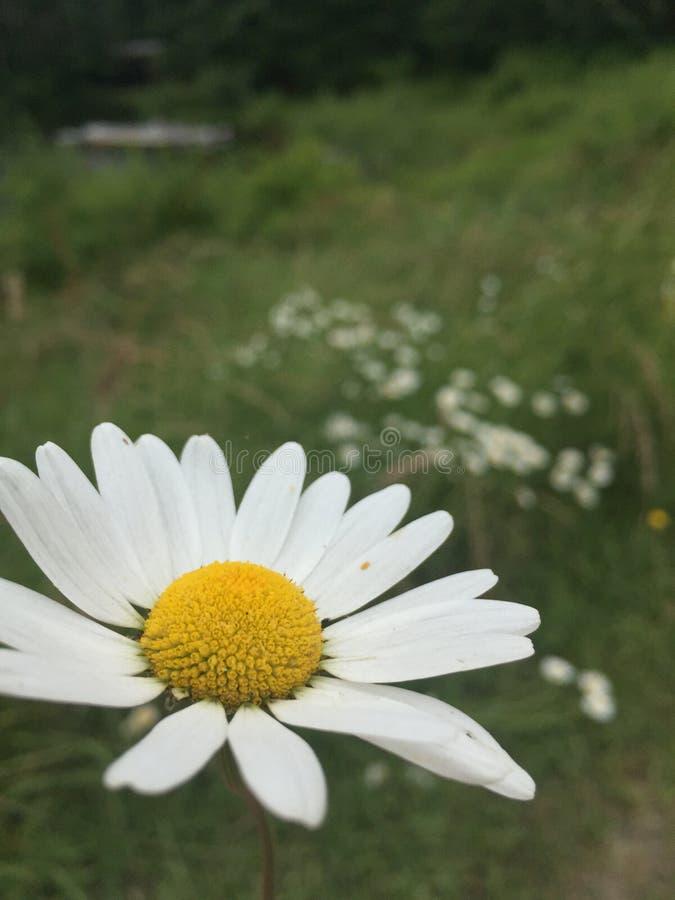 Blume in der Wiese lizenzfreies stockbild