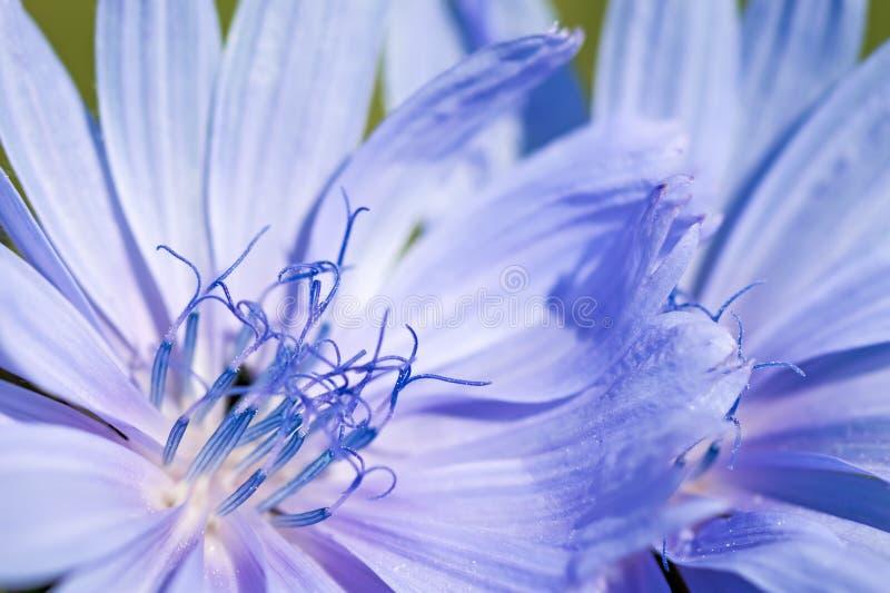 Blume der Zichorie stockbild