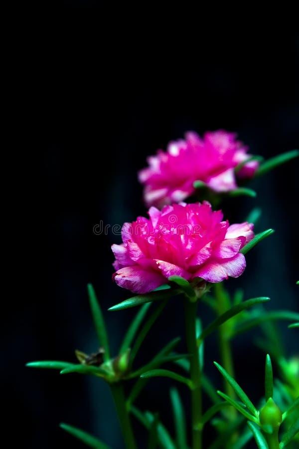 Download Blume Des Geläufigen Purslane Stockfoto - Bild von betrieb, flora: 27725262