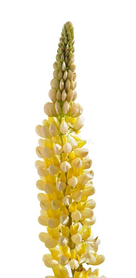 Blume des gelben Lupine lizenzfreies stockbild