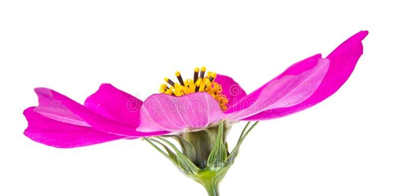 Blume des Kosmos lizenzfreie stockfotografie