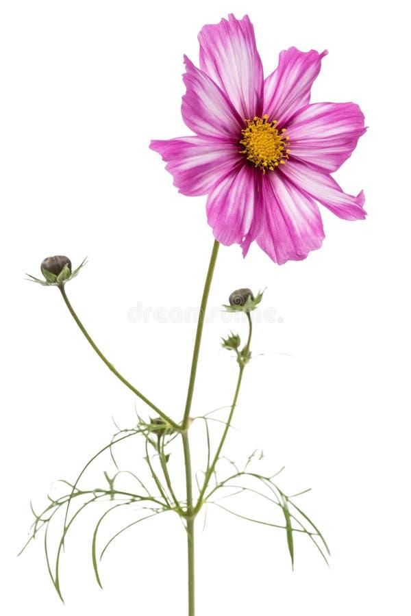 Blume des Kosmos, kosmeya Blume, lokalisiert auf weißem Hintergrund lizenzfreie stockbilder