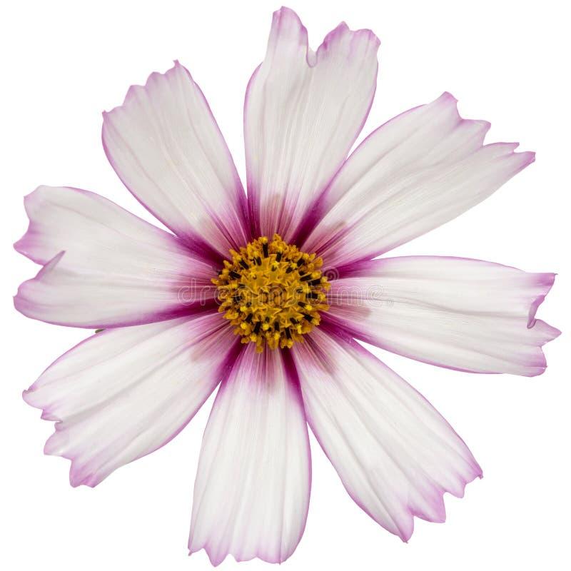 Blume des Kosmos, kosmeya Blume, lokalisiert auf weißem Hintergrund lizenzfreie stockfotografie