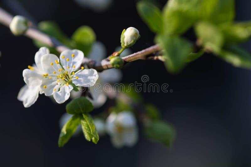 Blume des Pflaumenbaums auf einer Niederlassung lizenzfreies stockfoto