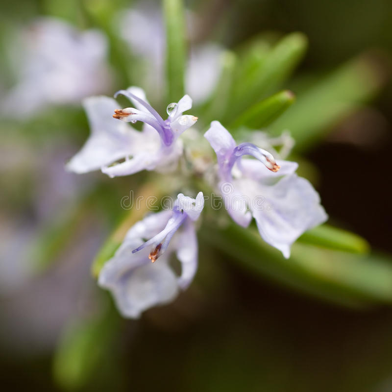 Blume des Rosmarins stockbilder
