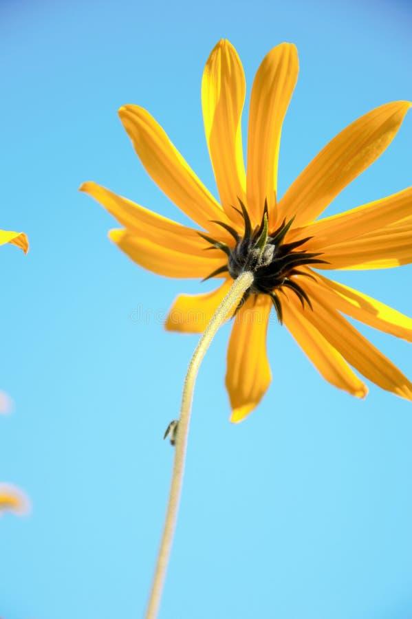 Blume des Topinambur im späten Fall stockbild