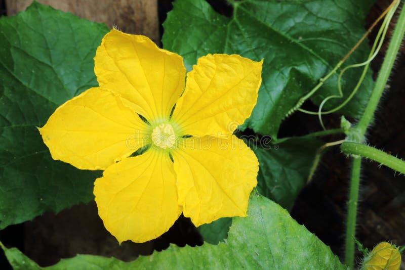 Blume des Wachskürbisses stockbilder