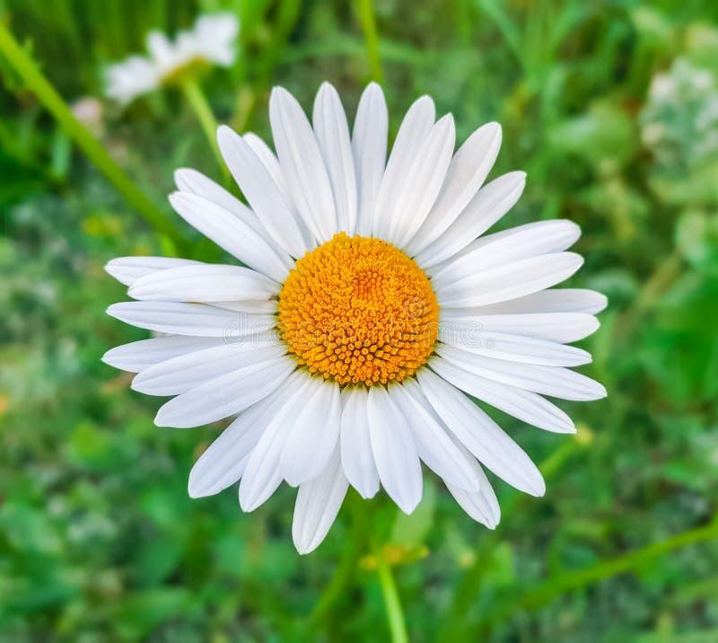 Blume des weißen Gänseblümchens der Schönheit lizenzfreie stockfotos