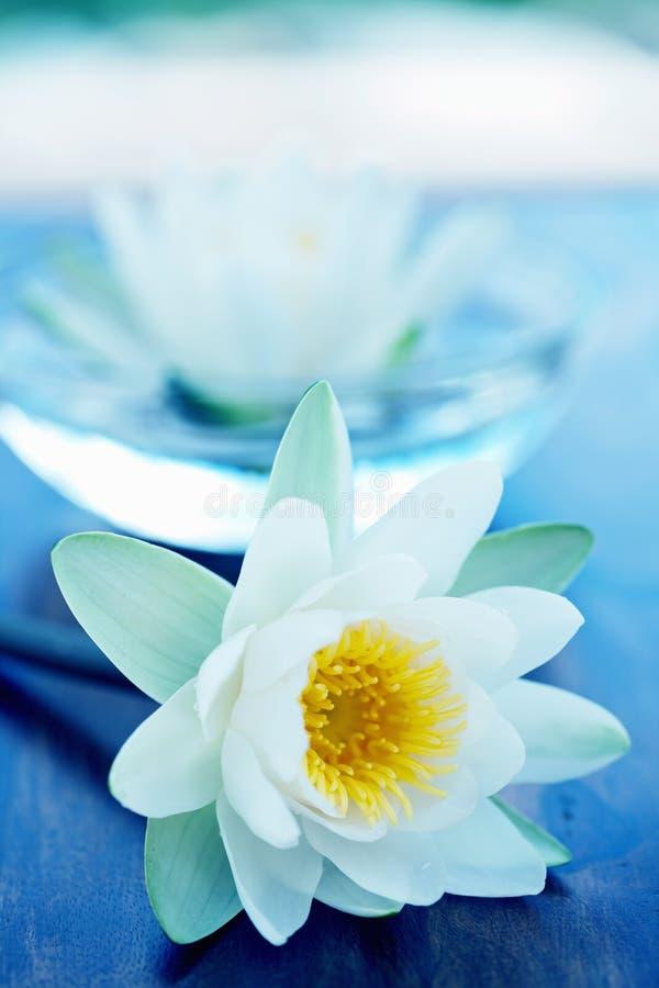 Blume des weißen Lotos stockbilder