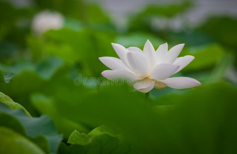 Blume des weißen Lotos lizenzfreies stockbild