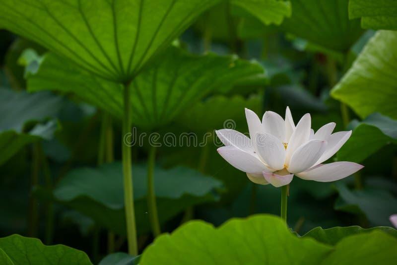 Blume des weißen Lotos lizenzfreies stockfoto
