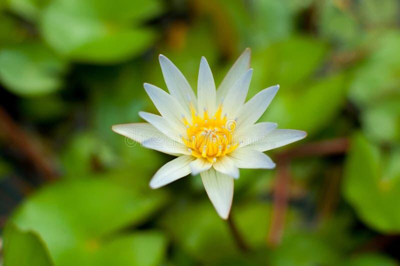 Blume des weißen Lotos lizenzfreie stockfotografie