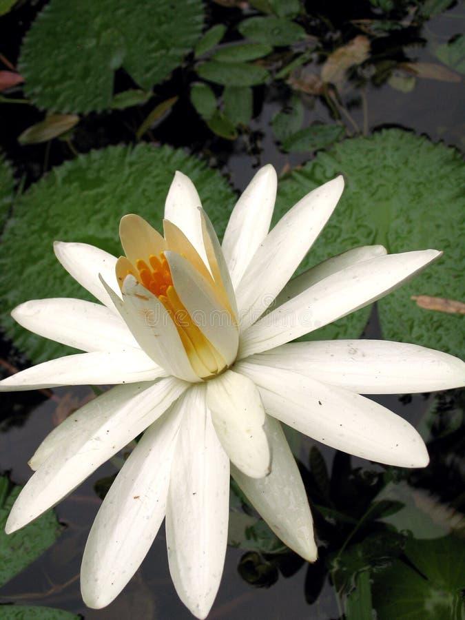 Download Blume des weißen Lotos stockbild. Bild von laub, betrieb - 865379