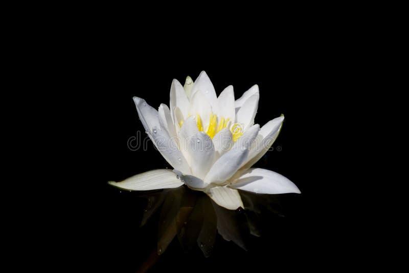 Blume des weißen Lotos mit Tropfen lokalisiert auf schwarzem Hintergrund stockfoto
