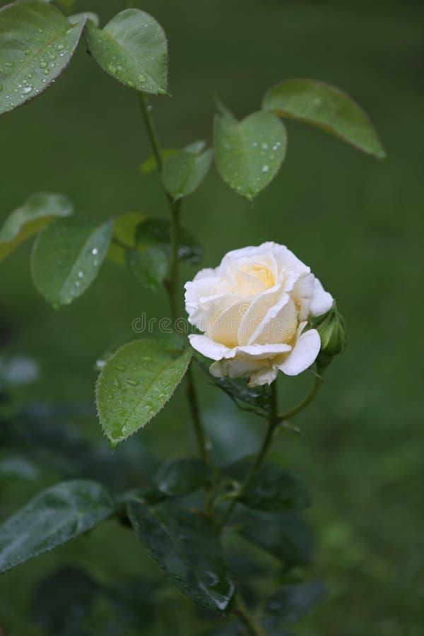 Blume die natürliche weiße Knospe des Rosenbuschgartens stockfotos