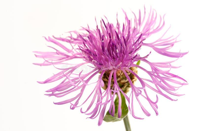 Blume einer Distel stockfotografie