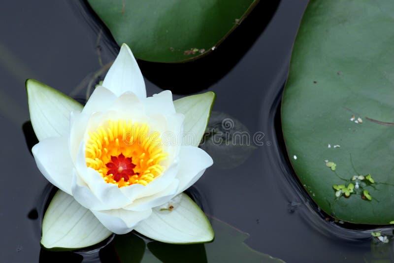 Blume einer Lilie in einem Teich stockfoto