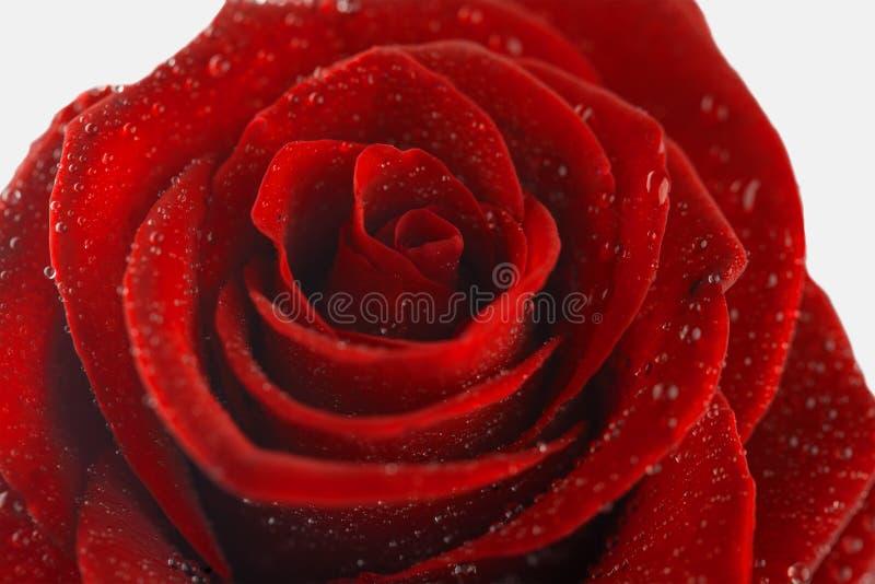 Blume einer roten Rose auf weißem Hintergrund lizenzfreie stockfotografie