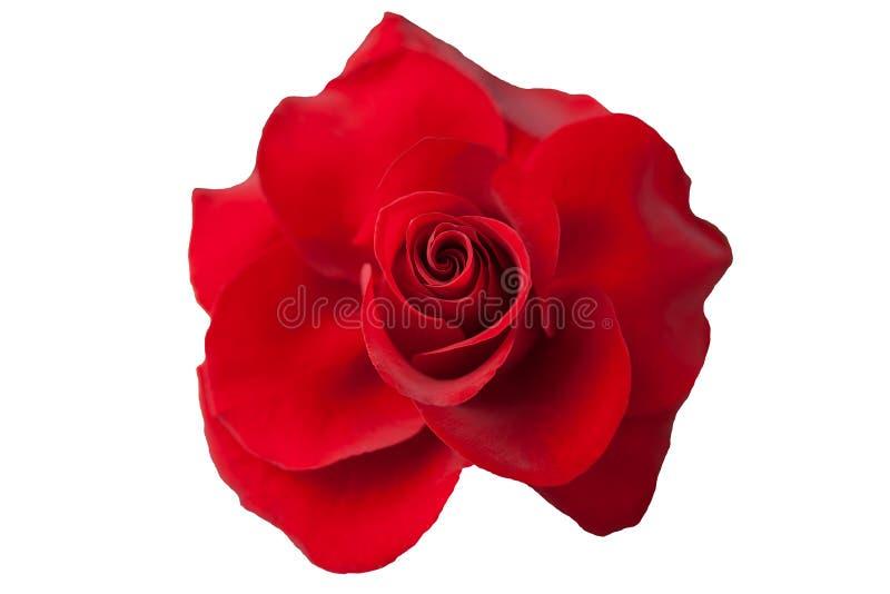 Blume einer roten Rose auf weißem Hintergrund lizenzfreies stockfoto