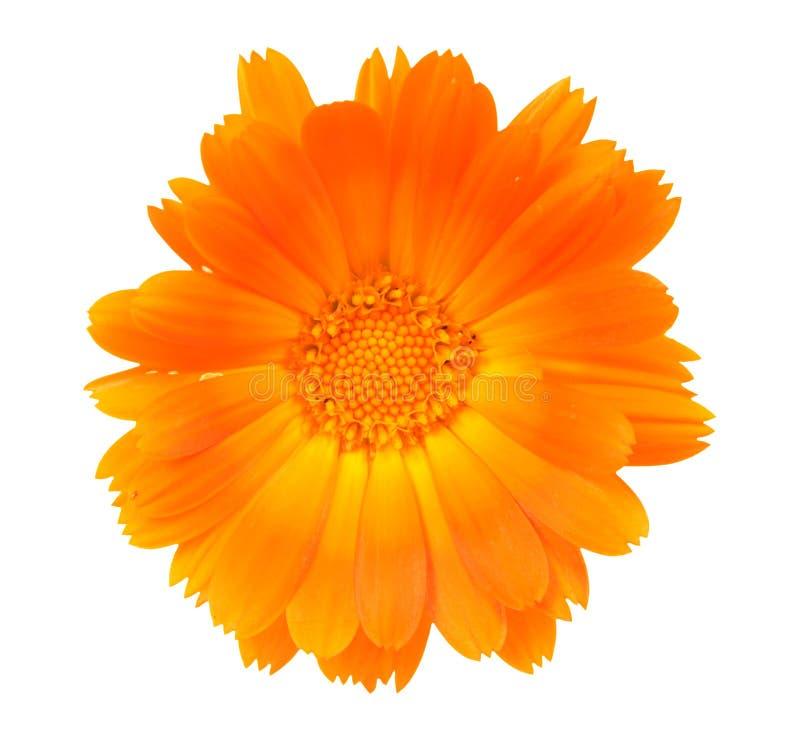 Blume eines Calendula lizenzfreies stockfoto