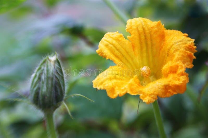 Blume eines Kürbises lizenzfreie stockbilder