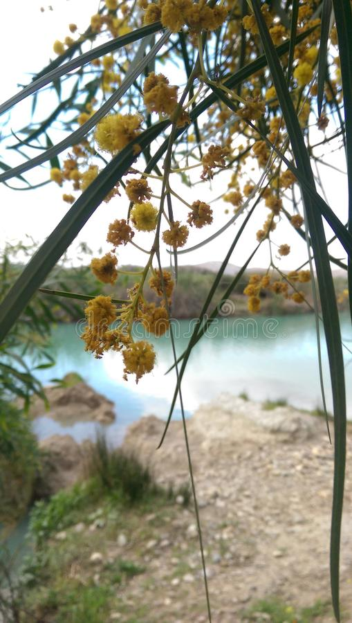 Blume eines Mimosenbaums stockbild