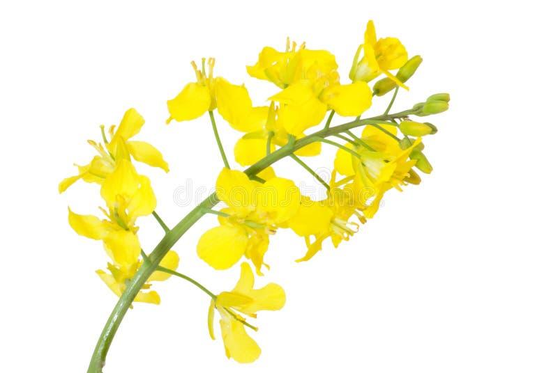 Blume eines Rapssamens, getrennt stockbild