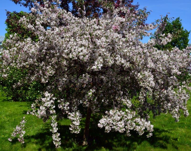 Blume, Frühling, Flieder, Blumen, Natur, Blüte, Baum, Anlage, Busch, Garten, purpurrot, rosa, grün, Blüte, Niederlassung, weiß, b lizenzfreie stockfotos
