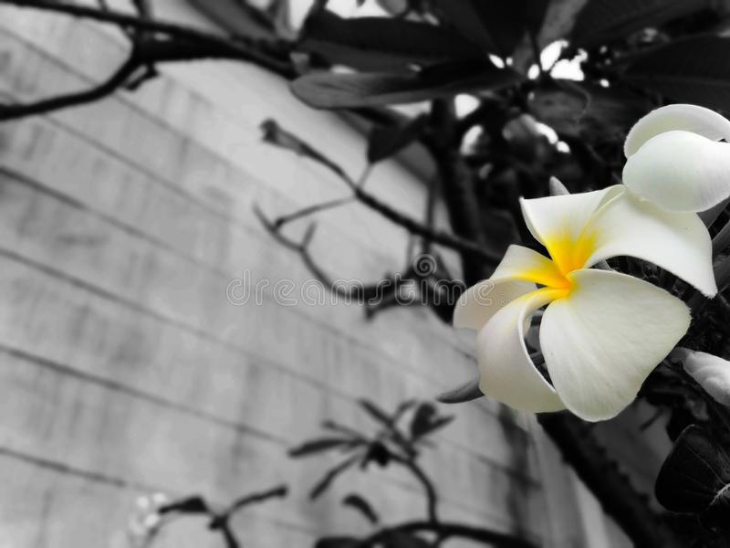 Blume, Frangipani, schön, Hintergrund, Schwarzweiss stockbilder