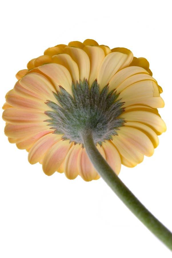 Blume getrennt lizenzfreie stockfotos