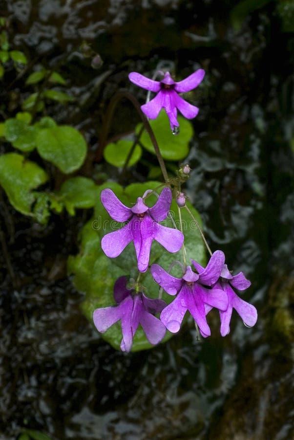 Blume Impatiens lizenzfreie stockfotografie