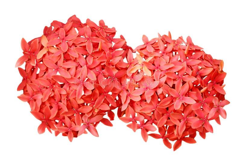 Blume Ixora chinensis stockfotografie