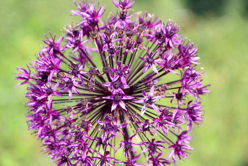 Blume, Kopf des Knoblauchs, Nahaufnahme stockfotografie