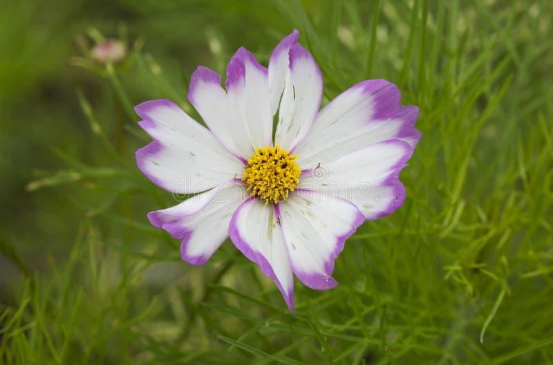 Blume Kosmeya lizenzfreie stockfotografie