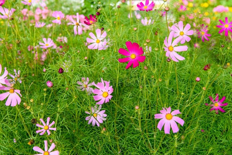Blume Kosmeya lizenzfreies stockfoto