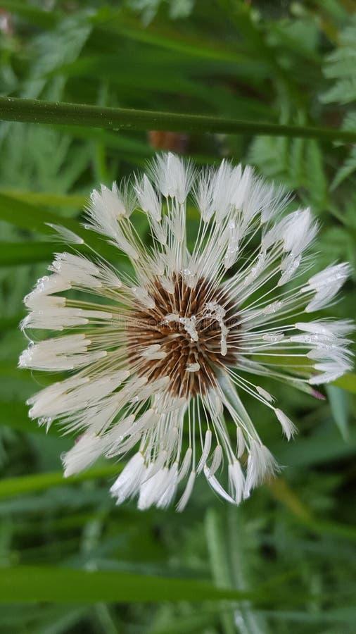 Blume Löwenzahnsamen Schlaguhr lizenzfreies stockbild