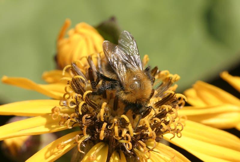 Download Blume mit Biene stockfoto. Bild von makro, blume, gelb, wiedergabe - 25434