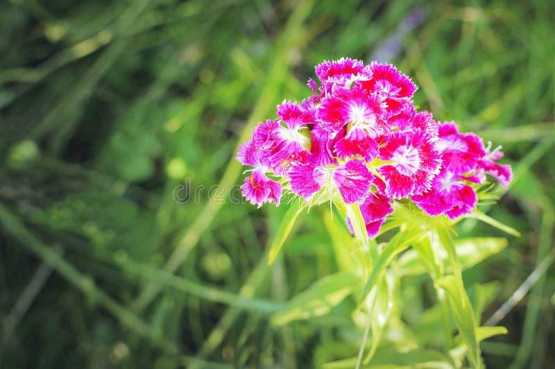 Blume mit blühenden Gartennelkenblumen stockfoto