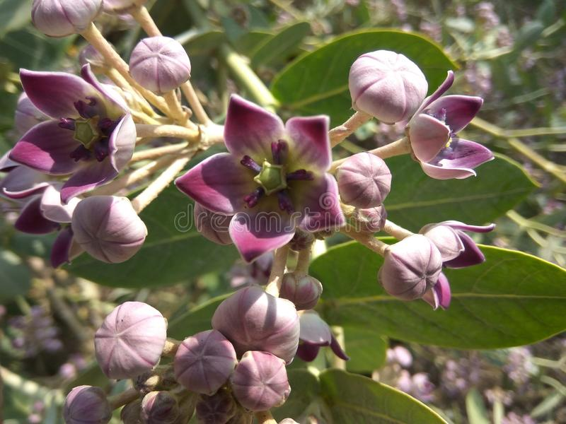 Blume mit den Knospen lizenzfreies stockfoto